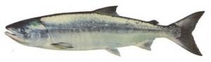 chum salmon bc charter fishing