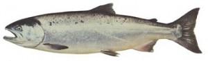 coho salmon kaien sportfishing charters